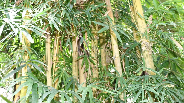 Außensonnenschutz winterharter Riesenbambus – beschattet leider auch im Winter.